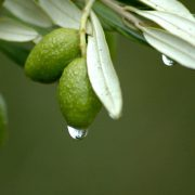 olive leaf extract, extract, olive, olives, olive leaf throat spray