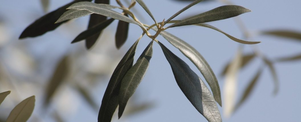 olive leaves - photo by rosevita