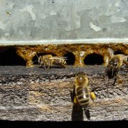 bees and propolis