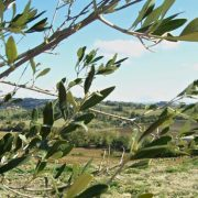 olive leaves on farm
