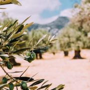 olives on olive tree in orchard
