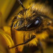 head of a bee close up